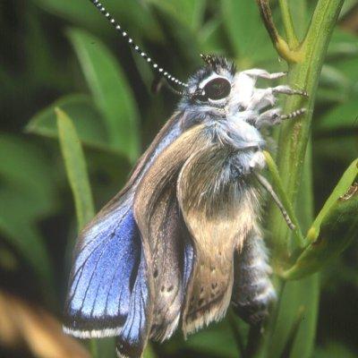 Motyl się wylęga - fot: Marcin Sielezniew