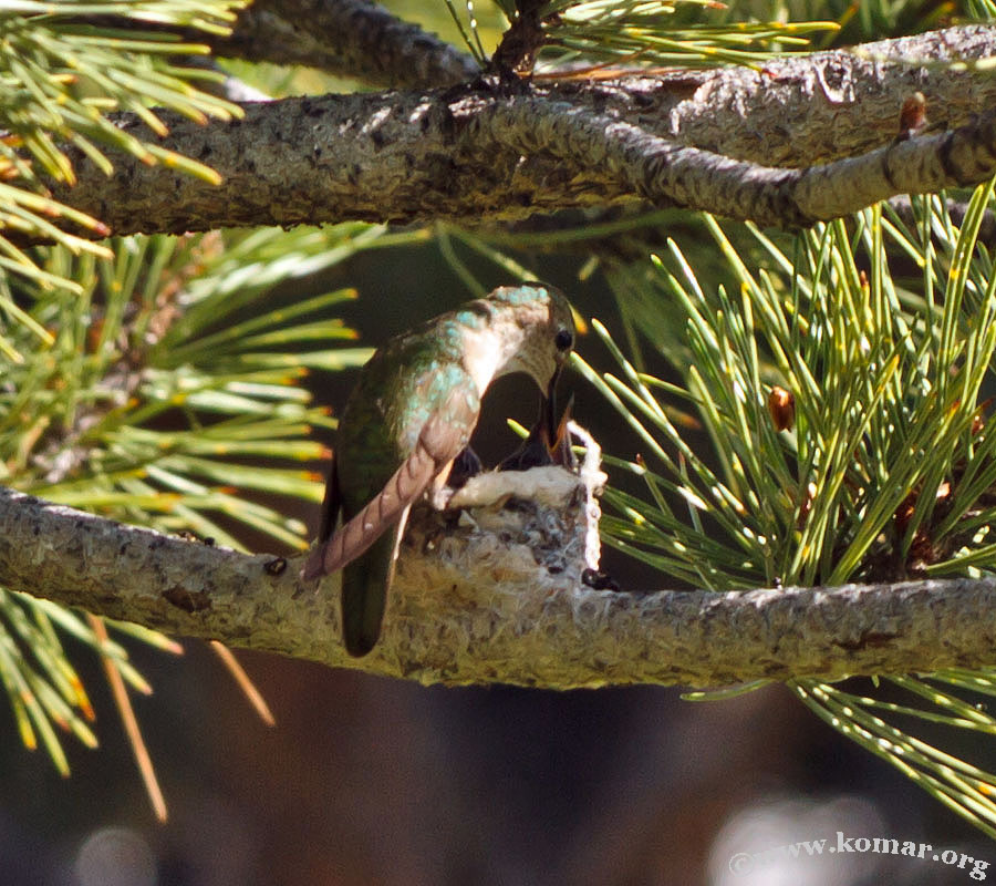 hummingbird nest 0715g