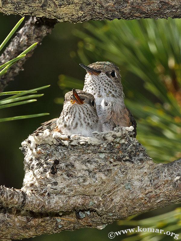 hummingbird nest 0723c