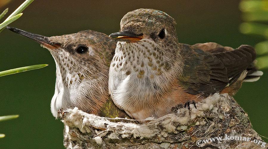 hummingbird nest 0723f