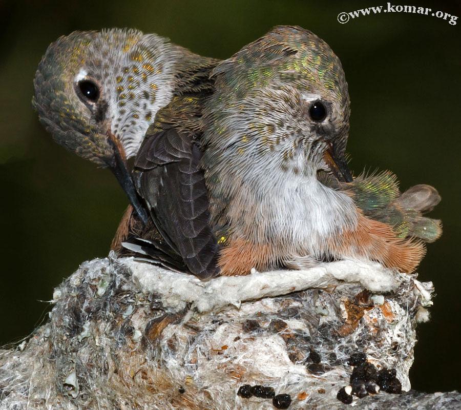 hummingbird nest 0624e