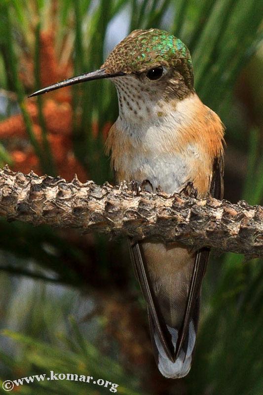 hummingbird nest 0624d