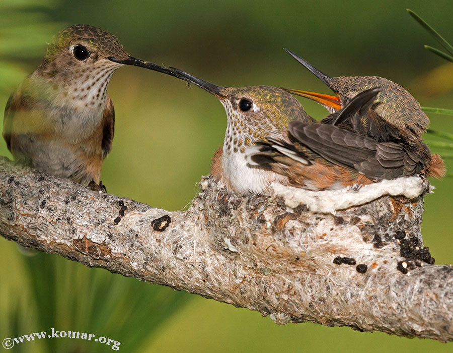 hummingbird nest 0624n