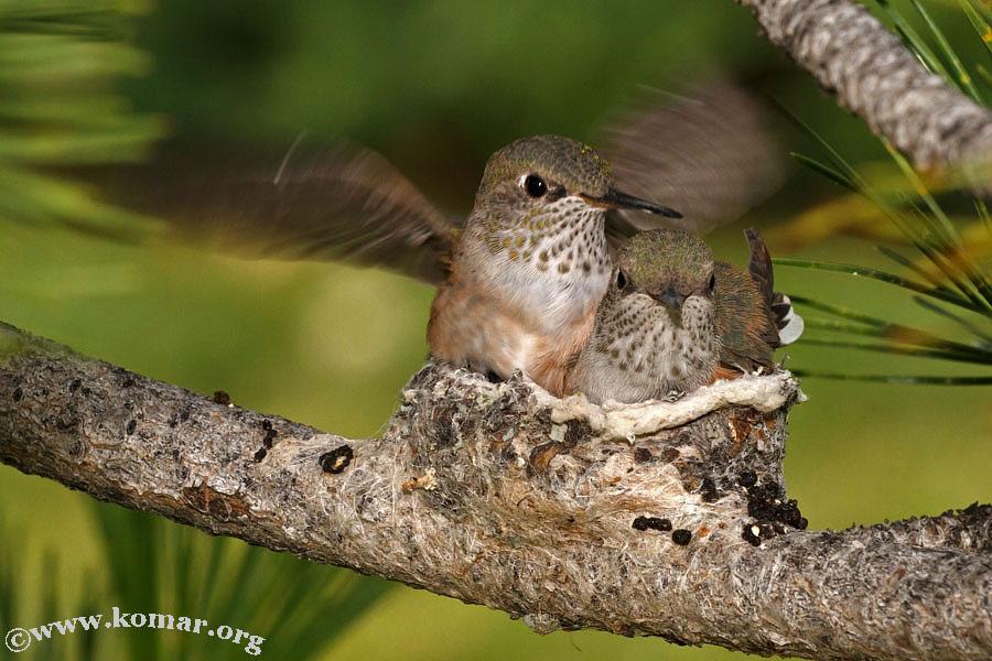 hummingbird nest 0624g