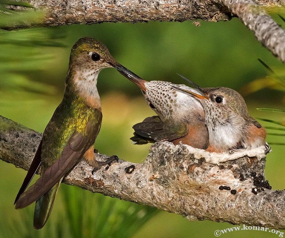 hummingbird nest 0624l