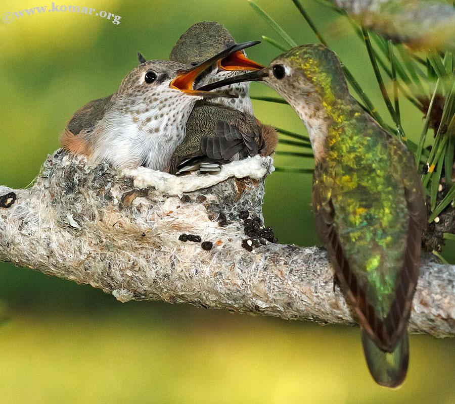 hummingbird nest 0624x