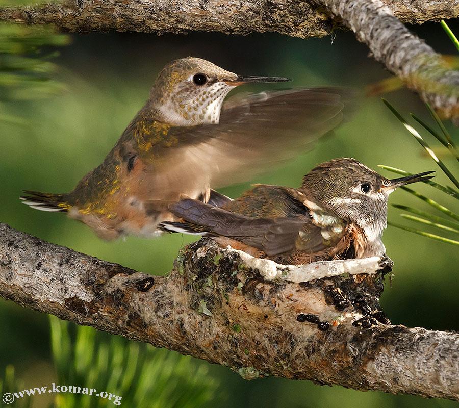 hummingbird nest 0625c