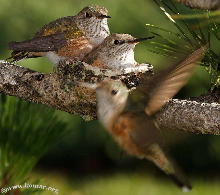 baby Hummingingbirds feed 1