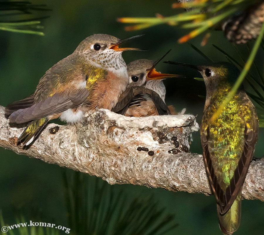 baby Hummingingbirds feed 3