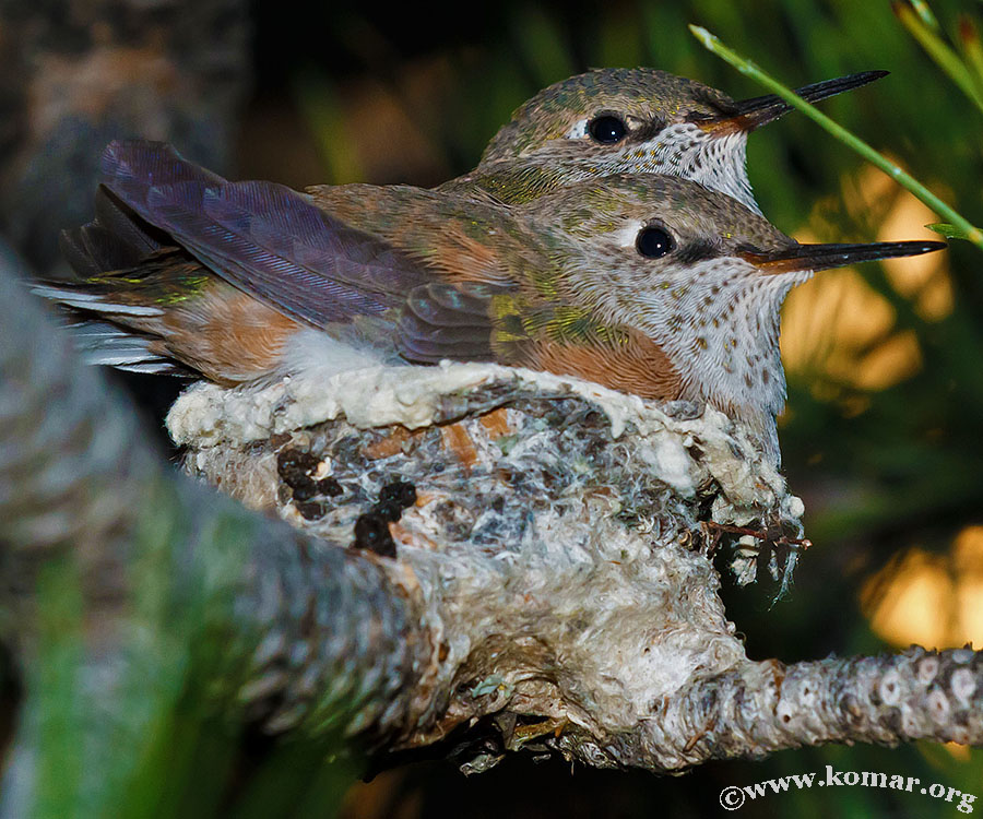 hummingbird nest 0625d