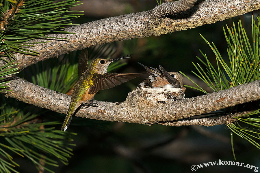 hummingbird baby last feeding