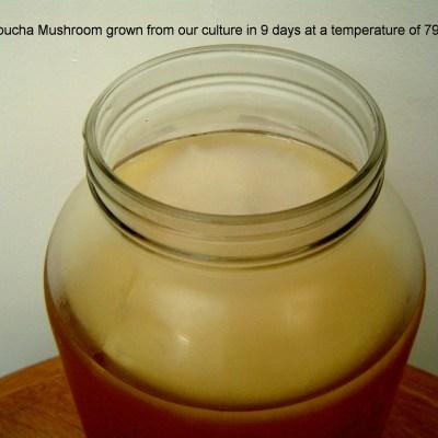 kombucha mushroom 9 days image