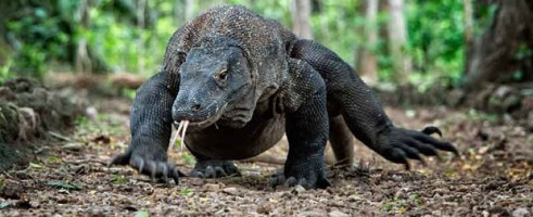 Komodo Tour 4 Days / 3 Nights (Two Night on Boat and one Night in Hotel)