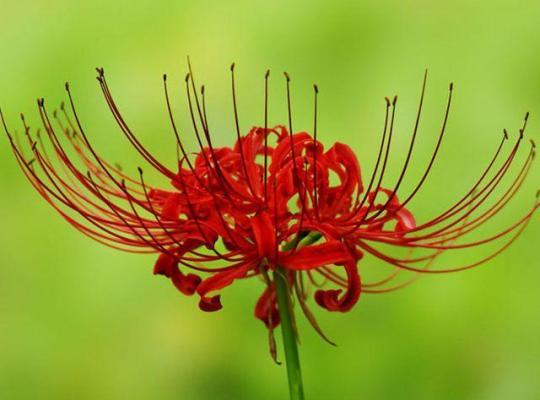 rode bloem in detail