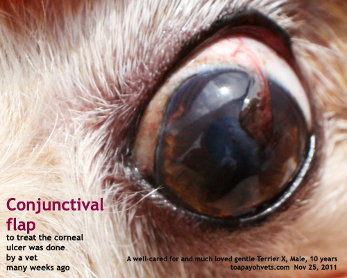 Conjunctival Flap To Cover The Corneal Ulcer Toapayohvets Singapore