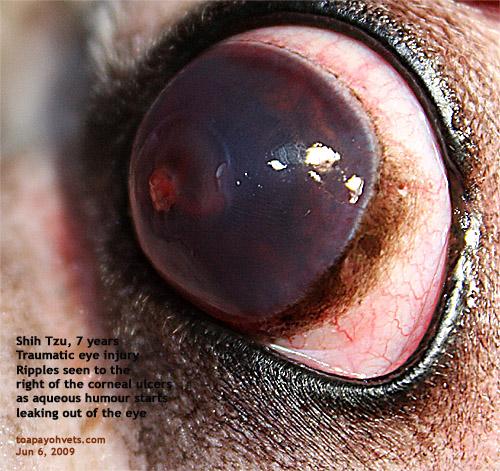 Left Eye Descemetocoele Ulcers Shih Tzu 7 Years Singapore Toa Payoh