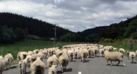kurban sapi atau kurban kambing