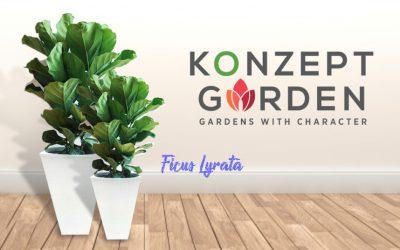 Everyone's Indoors Favourite Plant – Ficus Lyrata