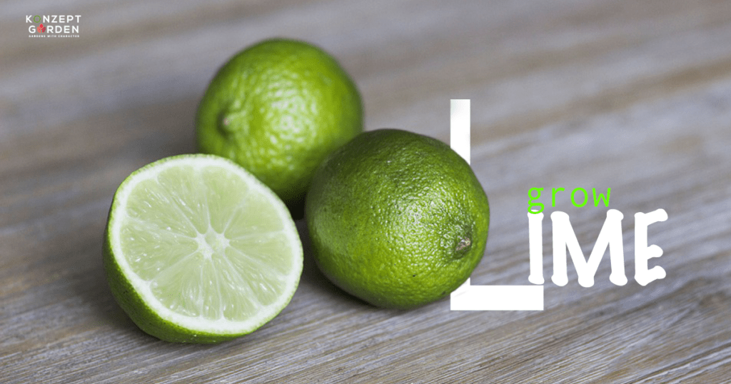How to start growing Lime Trees From Seed?