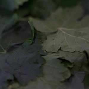 druivenbladeren