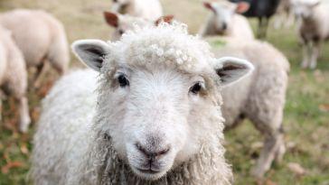 vegan olmak koyunlar bakıyor