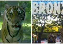 New York'ta Hayvanat Bahçesinde Kaplanın Korona Testi Pozitif Çıktı!