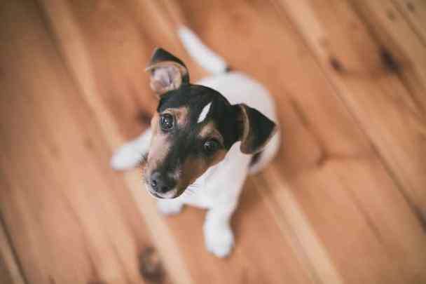 Jack Russell Terrier ırkı sevimli köpek
