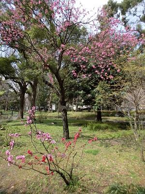 ハナモモの花が咲いていた(日比谷公園)