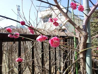 去年より寒いのに、我が家の梅はもう開花