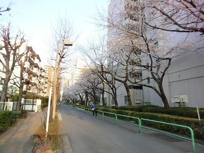 保育所前の桜並木