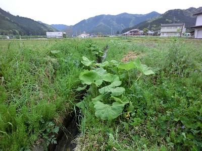 農水路のあぜに育つふき