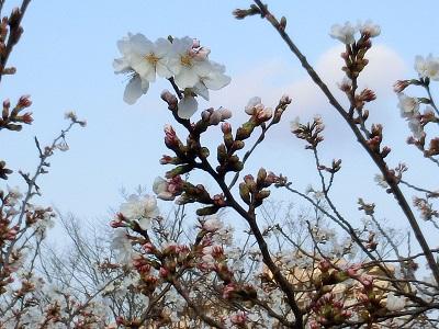これから咲くつぼみも残っている