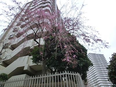 団地と枝垂れ桜