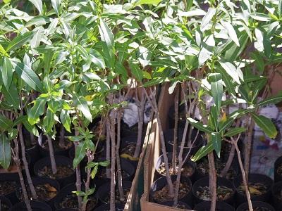 バオバブの苗木が売られていた