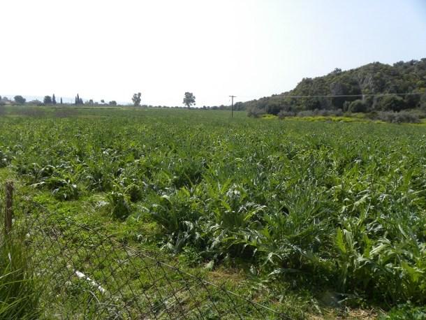 χωράφια με αγκινάρες εικόνα