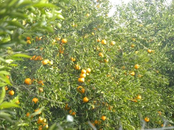 Μανταρίνια στο δέντρο 2