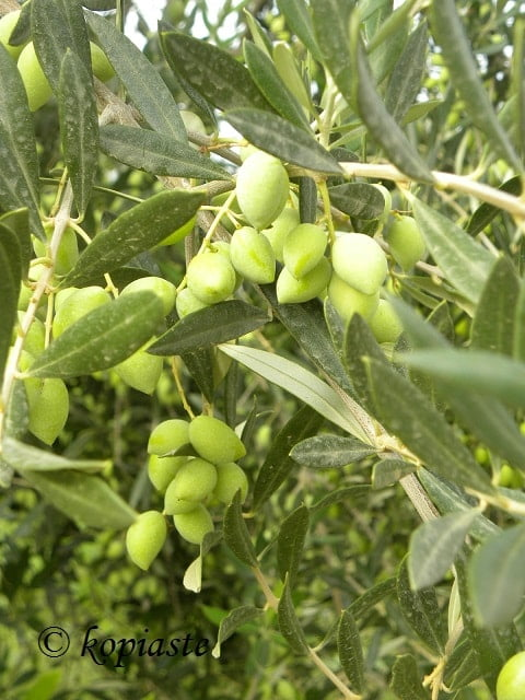 Greek olives3