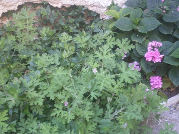 Geraniums in our back yard image