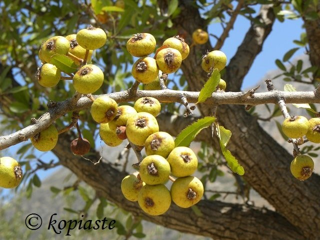 gortsa mosphila Hawthorn