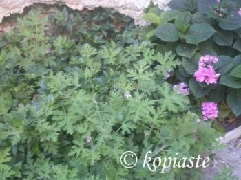 arbaroriza scented geraniums