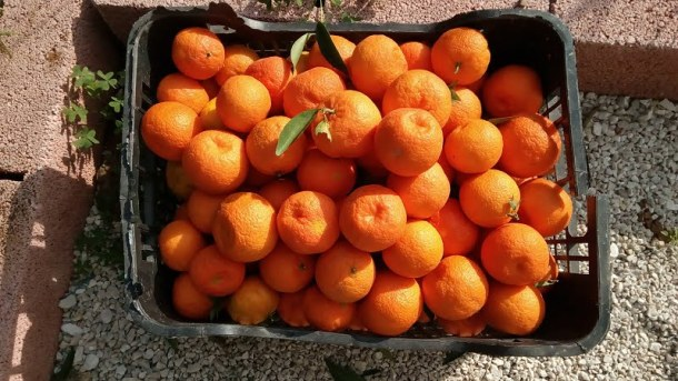 organic mandarins from our garden image