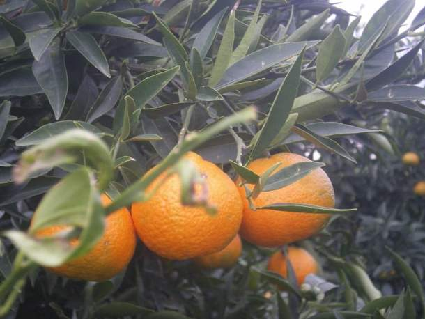 Mandarins on the tree photo