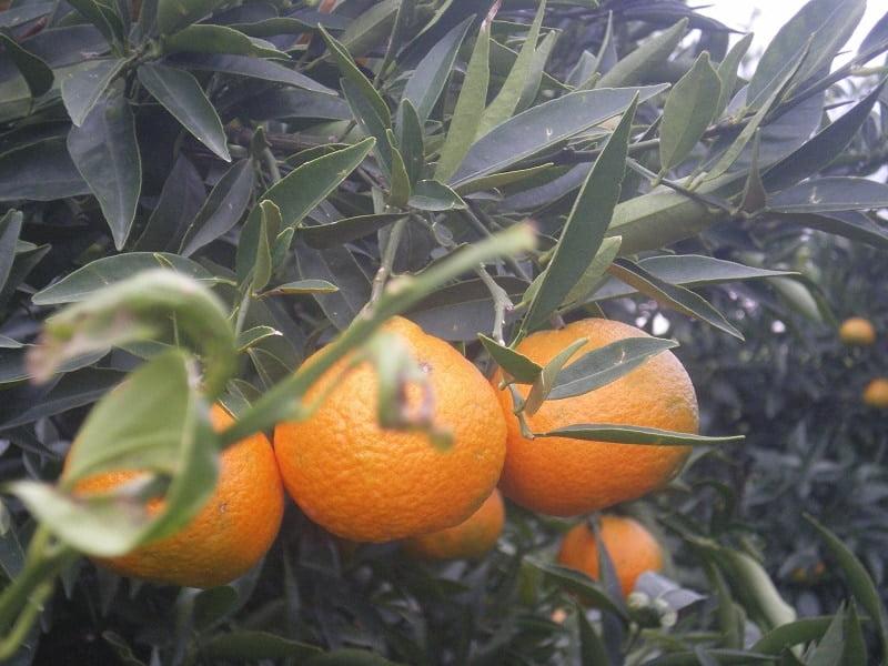 Mandarins on the tree