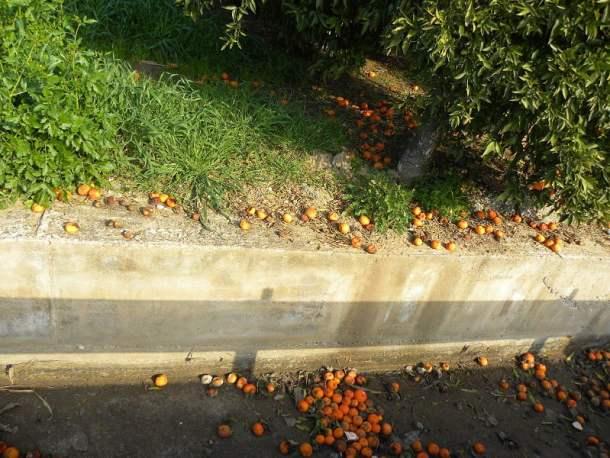 Mandarins rotting