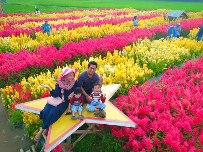 Wisata Kebun Bunga Celosia