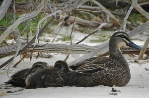 640px-Pacific_Black_Duck_Ducklings