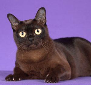 Характер бурманской кошки и ее описание