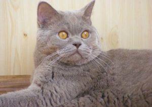 Порода кошки скоттиш-страйт: описание, характер, уход, фото