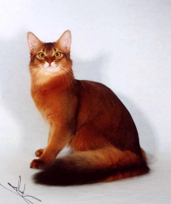 Сомалийские кошки: описание, характер, уход, фото
