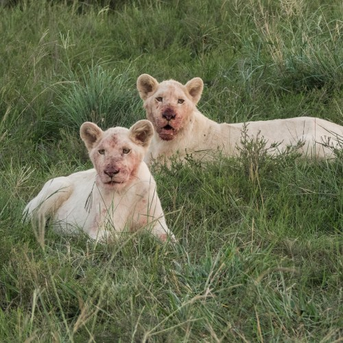 White Lion Cubs in Inkwenkwezi National Park on our South Africa Itinerary 10 Days
